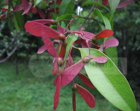 Acer fabri seeds