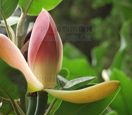 Magnolia delavayi seeds
