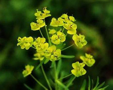 Euphorbia pekinensis