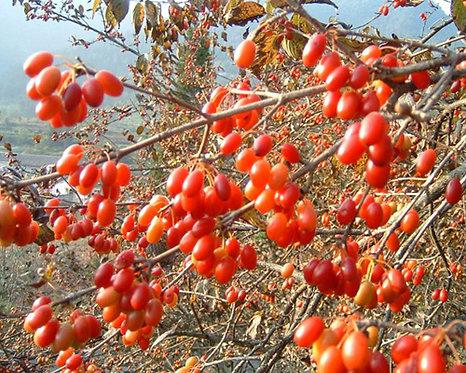 Cornus officinalis seeds