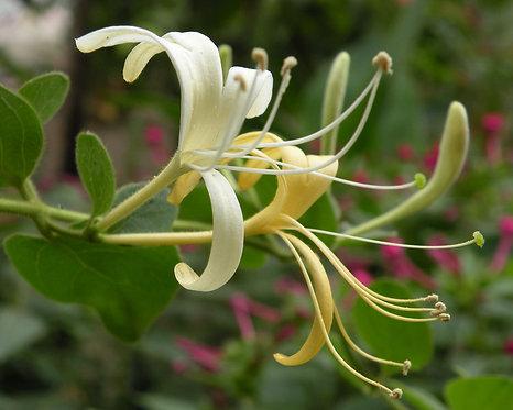 Lonicera japonica seeds