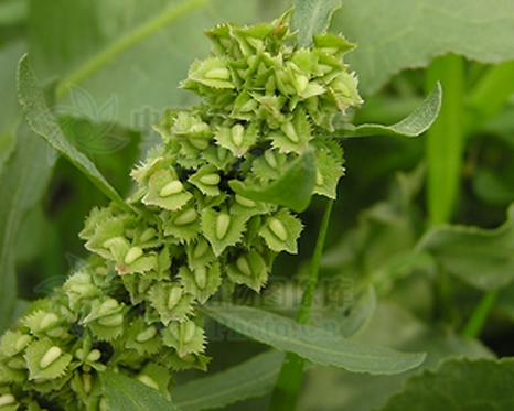Rumex japonicus seeds