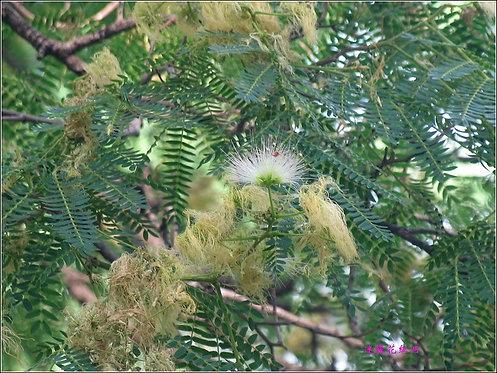 Albizia simeonis