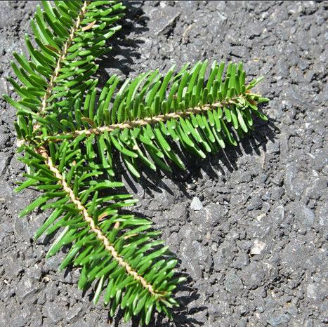 Abies ernestii seeds