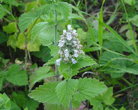 Notopterygium incisum seeds