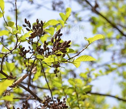 Alnus nepalensis seeds