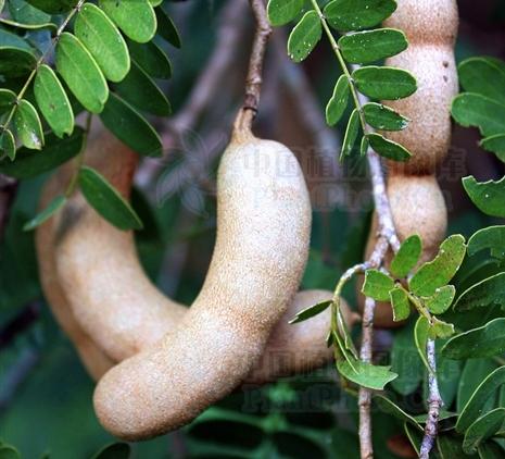 tararind fruit seeds-Tamarindus indica
