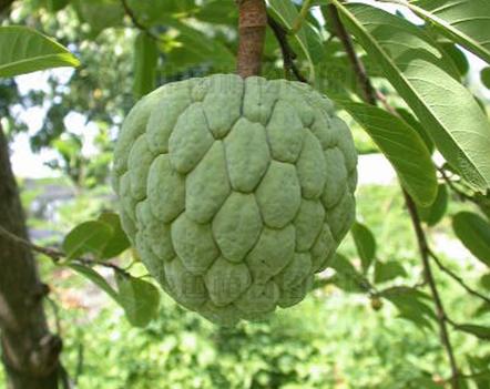 sweetsop seeds (Annona squamosa)