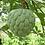 Thumbnail: sweetsop seeds (Annona squamosa)