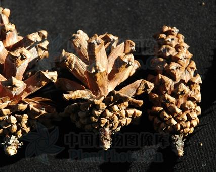Pinus latteri seeds