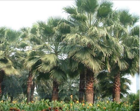 Washingtonia filifera seeds