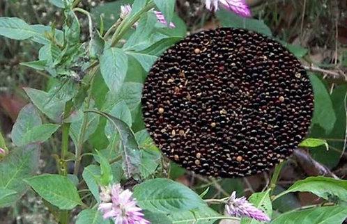 Celosia argentea seeds