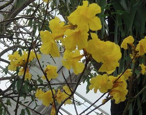 Tabebuia chrysantha seeds