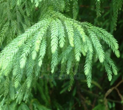 Taiwania flousiana seeds
