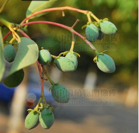 Machilus yunnanensis  seeds