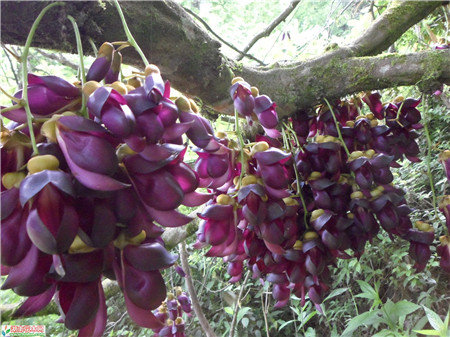 Mucuna sempervirens seeds