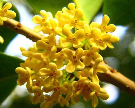 Osmanthus fragrans cv. Loureiro seeds
