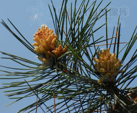 Pinus sylvestris  var. mongolica seeds