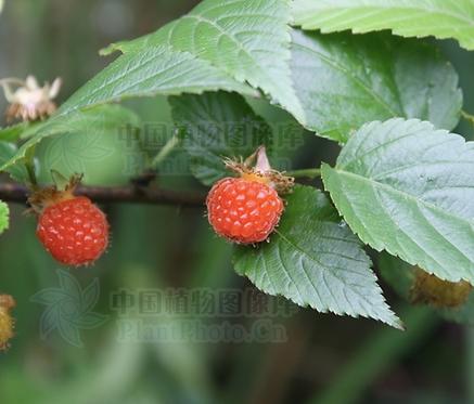 Rubus corchorifolius seeds