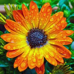 Cape Basket Flower