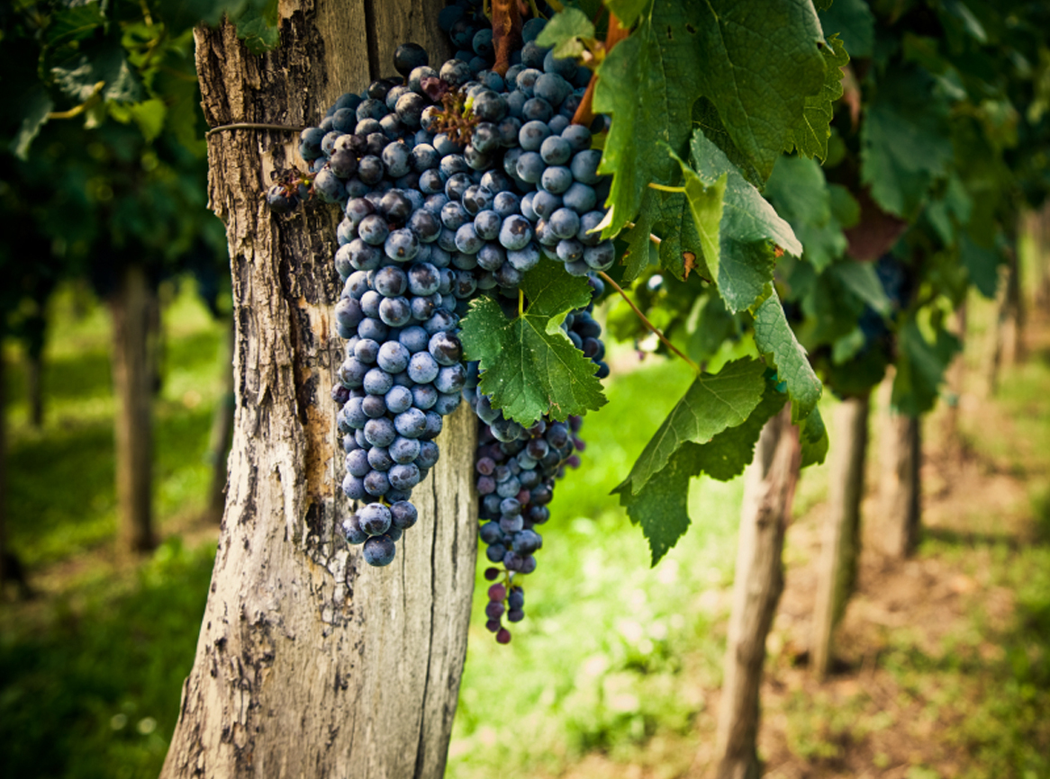 hanging grapes