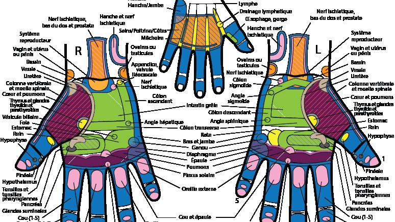Planche de réflexologie des mains (Practicien)