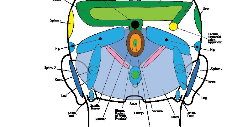 Scalp Reflexology Chart (posterior view)