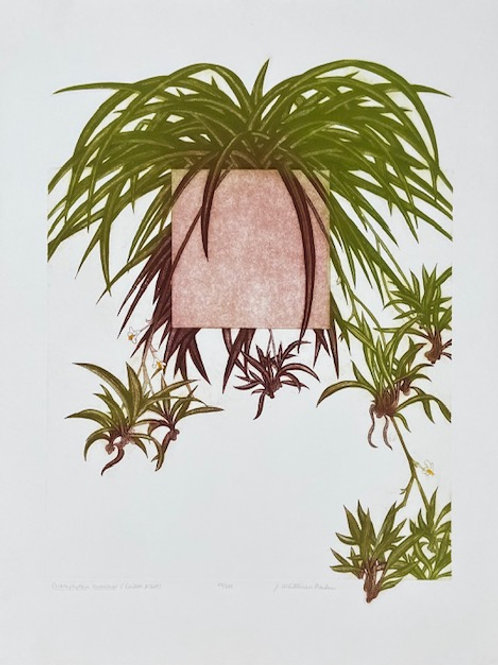 Spider Plant by J. Whiteman Parker