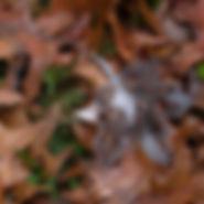 Crow Leaf.jpg