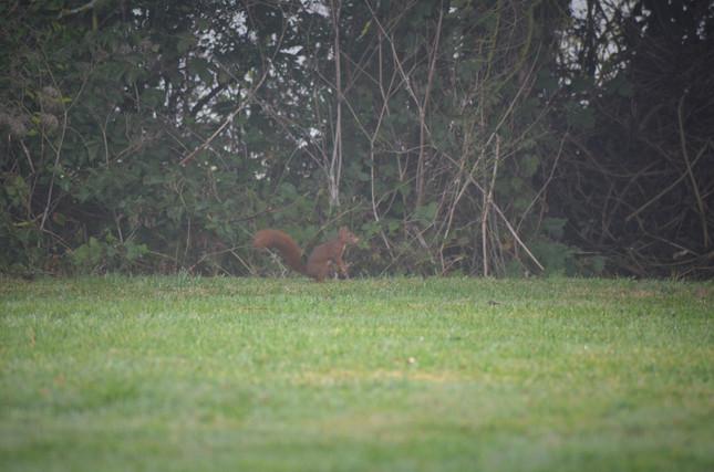 Ecureuil roux La Coiraudière