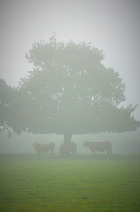 Vaches brume