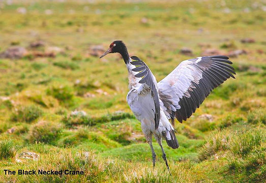 The Black Necked Crane.jpg