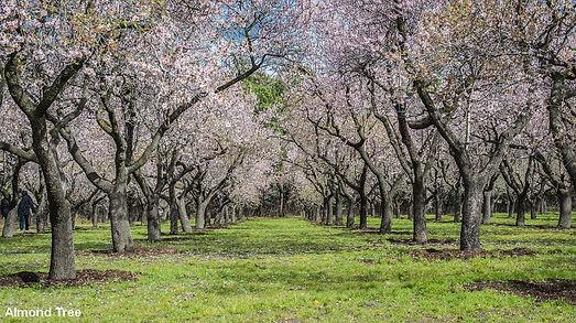 Almond_Tree.jpg