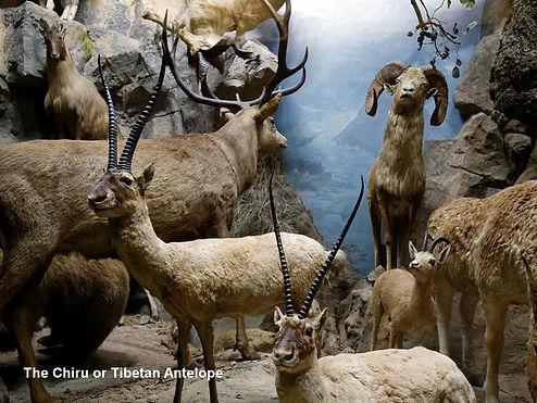Chiru - Tibetan Antelope.jpg