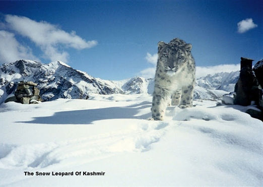 Snow Leopard Of Kashmir.jpg