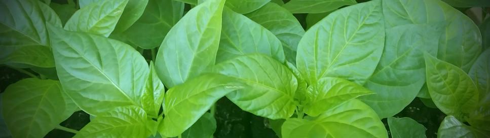 Plants du Potager