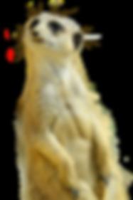 meerkat-3246056_1920.png