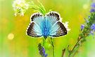 blue-korydon-4860982_1920.jpg