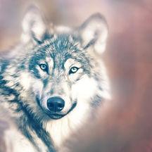 wolf-1640162_1920.jpg