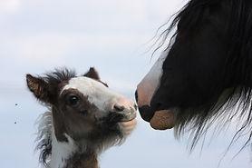 foal-2691895_1920.jpg