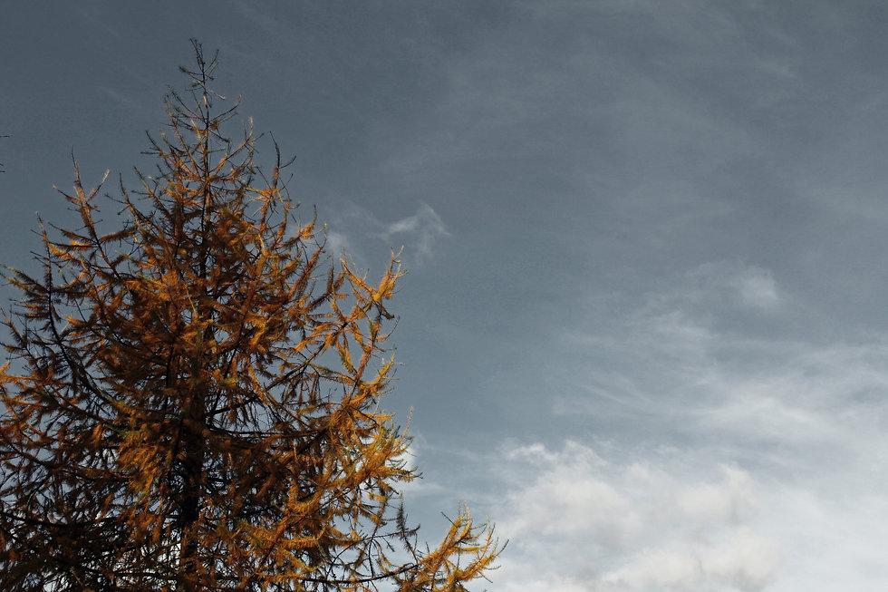Tamarack Tree pic2_edited.jpg