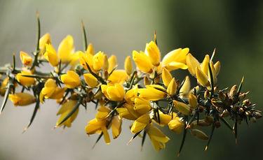 13-fleur-de-bach-numero-13-ajonc-gorse-u