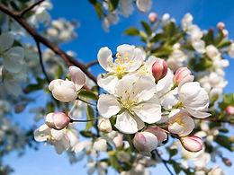 fleur-de-bach-crab-apple-pommier-sauvage
