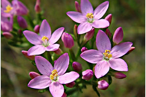 centaury_remedyImage.jpg