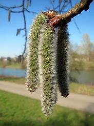 fleur-de-bach-aspen-tremble.jpg