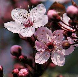 fleur de prunus.jpg