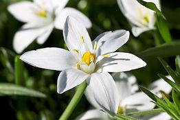 fleur-de-bach-star-of-bethlehem-etoile-d