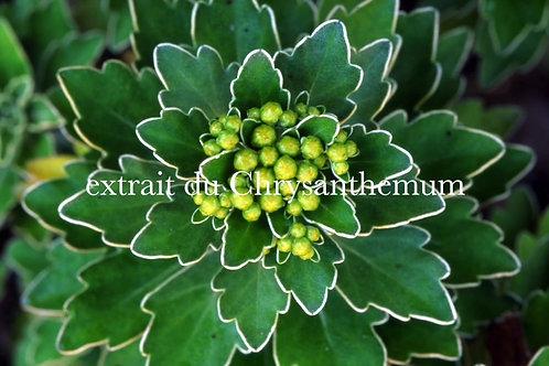 DIVERSITE VEGETALE : Chrysanthemum 38'47