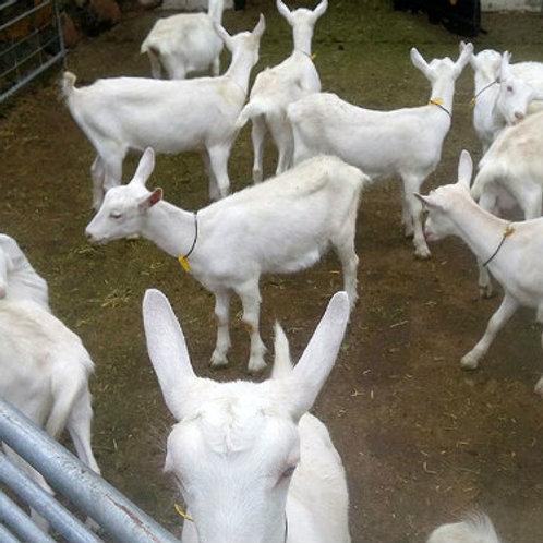 Live Saanen Goats / Saanen Goats / Live Goats 100% healthy with all certificates