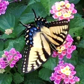 Bucks Swallowtail